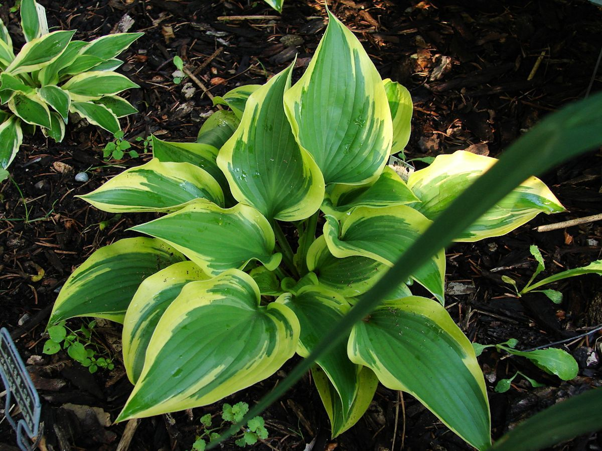 Lakeside Spruce Goose Medium Striking Form Green Leaves With
