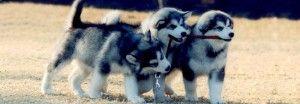 malamute puppies cape town