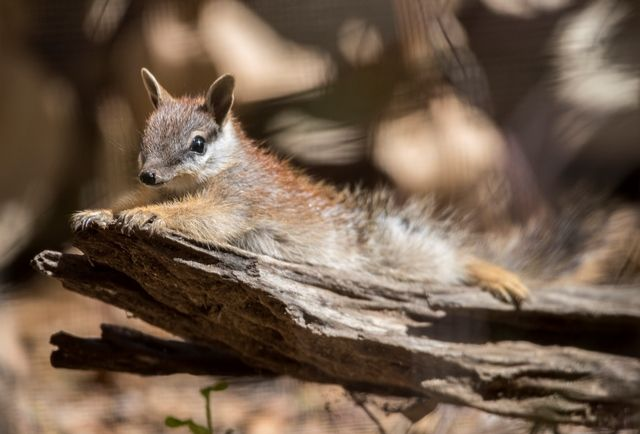 Perth Zoo is Saving Numbats and Dibblers From Extinction
