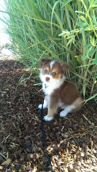 Mini Australian Shepherd Chihuahua Mix Cuteness Level 100 With