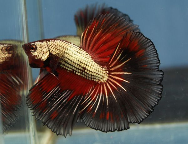 best bettas you 39 ve ever seen from aquabid a tale of