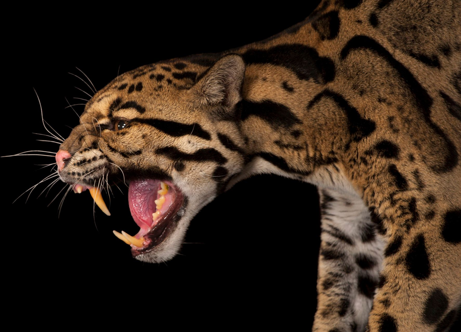 Clouded leopard (Neofelis nebulosa) at Houston Zoo. A