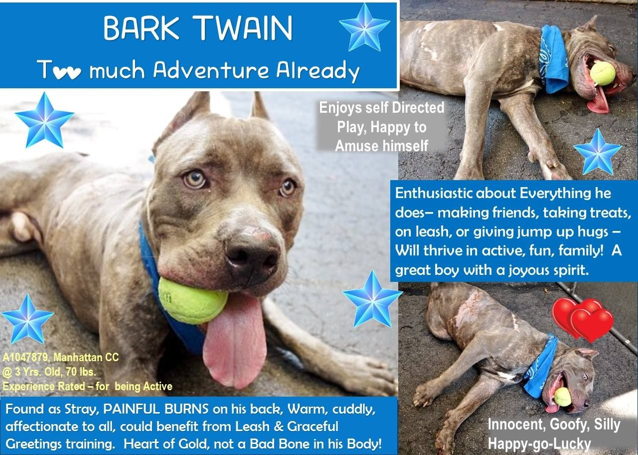 TO BE KILLED- 08/21/15- NYC ACC- BARK TWAIN, A1047879, MANHATTAN CENTER @ 3 YRS. OLD (LIKLEY YOUNGER), 70.0 LBS AMSTAFF MIX, UNALTERED MALE