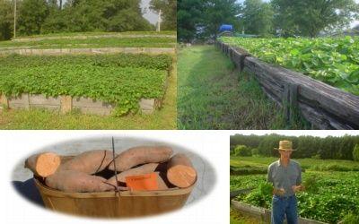 www.tatorman.com - Resource for Sweet Potatoes and Sweet Potato Plants