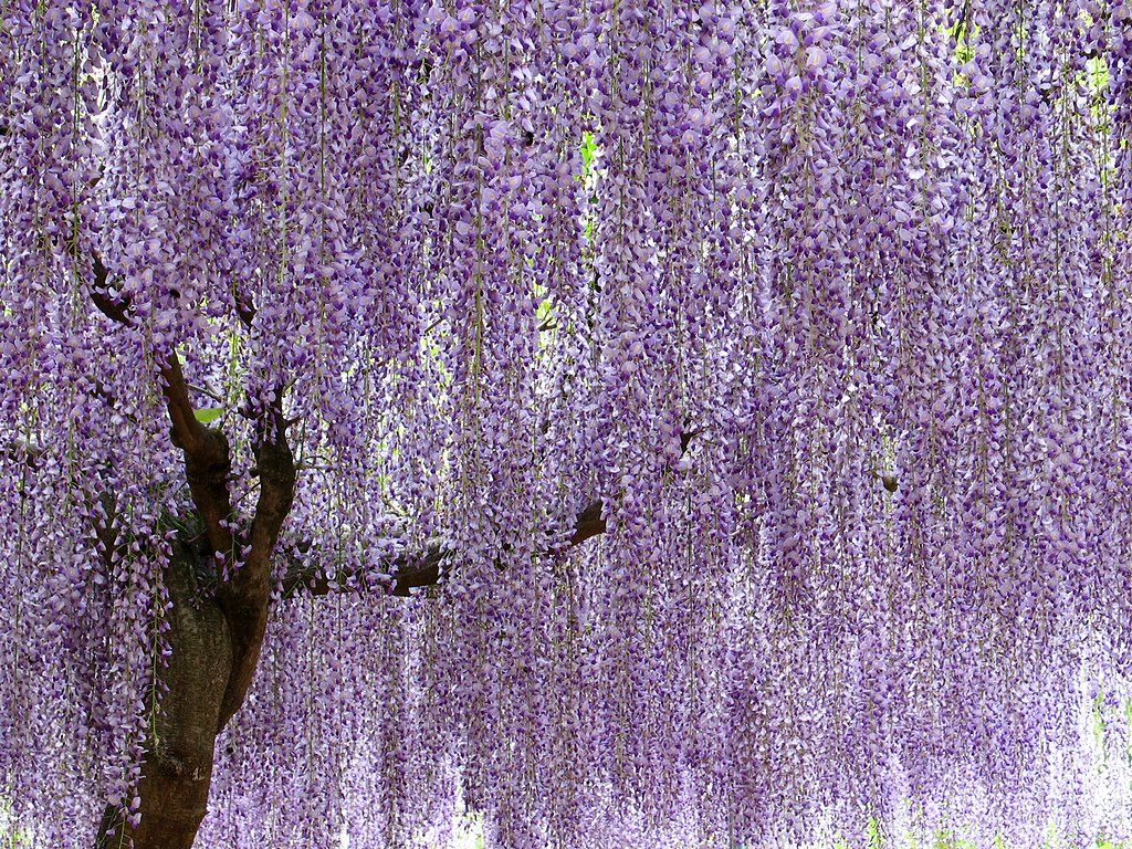Japanese Wisteria I Want One 藤 花 壁紙 藤棚