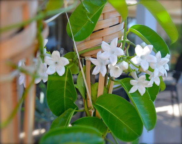 Stephanotis Floribunda Ou Jasmin De Madagascar Est Une Plante D