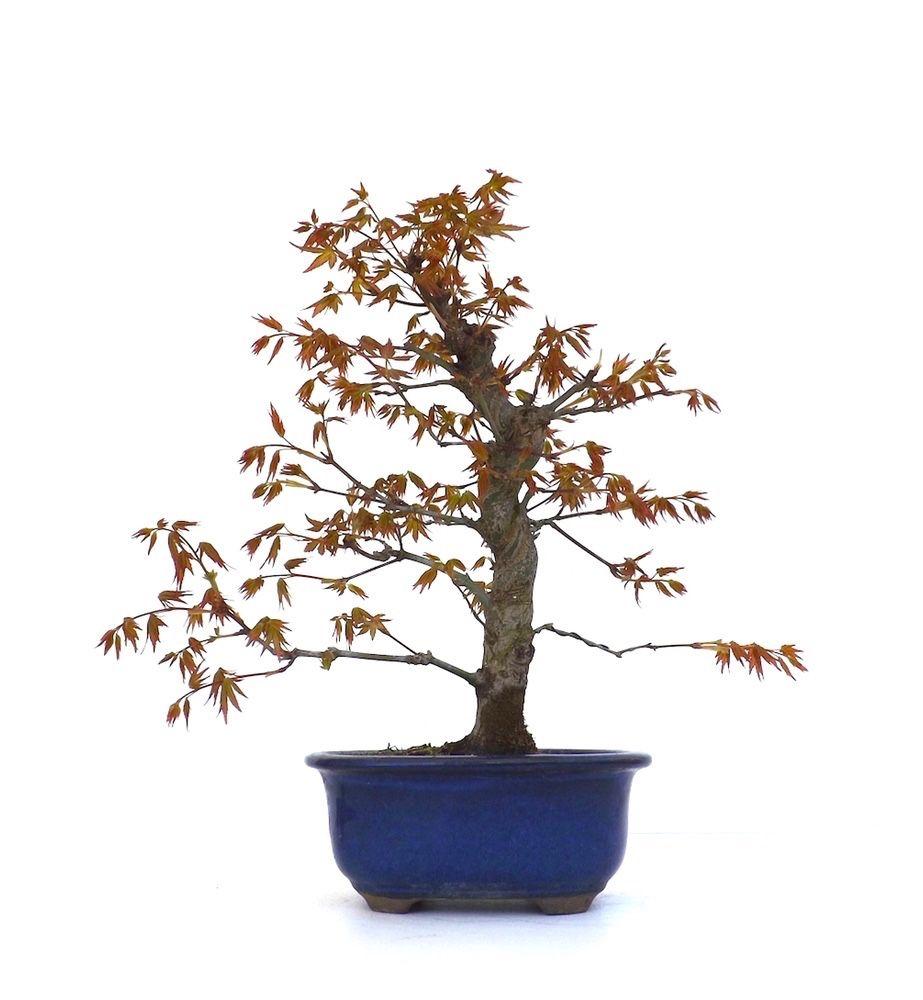 nouveau un tres joli bonsai erable du japon ou acer. Black Bedroom Furniture Sets. Home Design Ideas