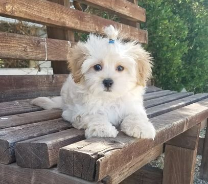 Maltipoo puppy for sale in LOS ANGELES, CA. ADN38952 on