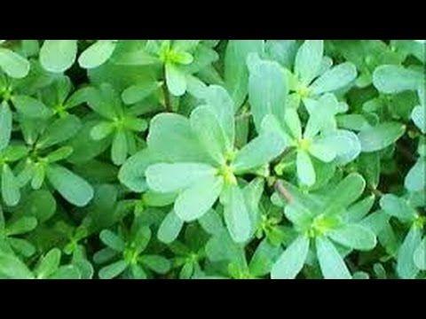 corregir acido urico eliminar la gota wikitravel urea acido urico y nitrogeno ureico