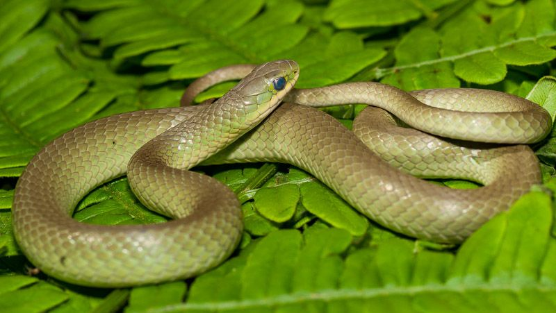 Smooth Green Snake Green Snake On A Bed Of Ferns Green Snake
