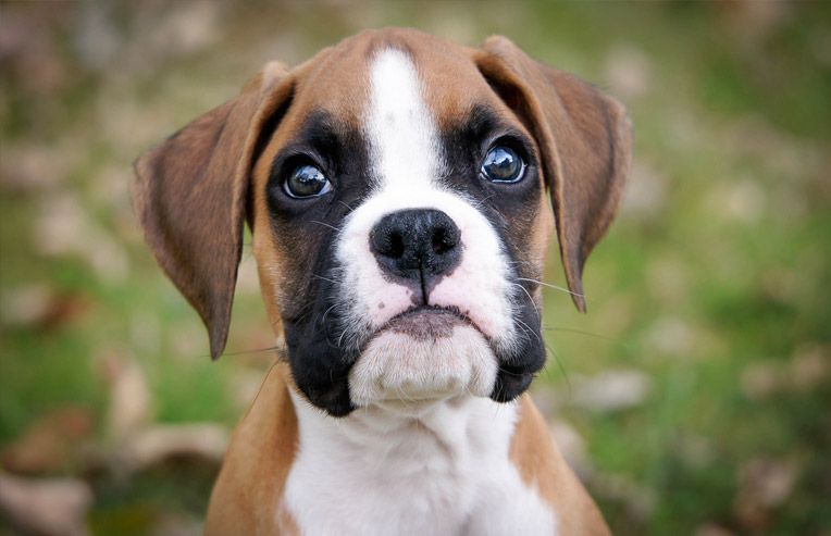 The Absolute Best Dog Breeds For Young Kids Boxer Puppies For Sale Boxer Puppies Boxer Dogs