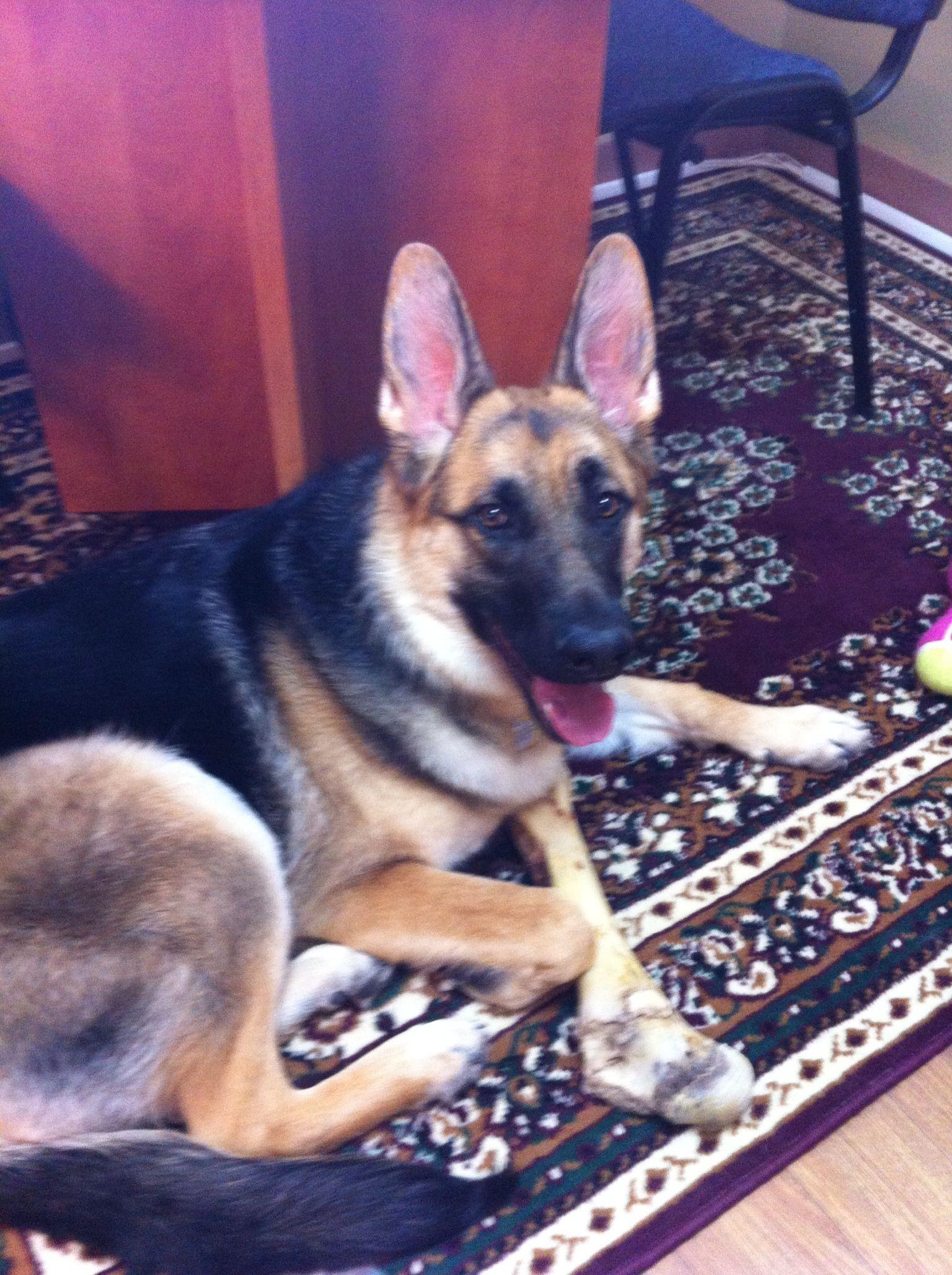 Abby at work with me german shepherd dogs german