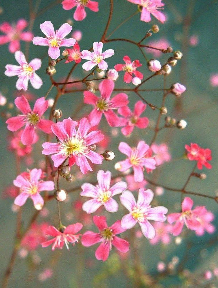 Baby S Breath Mix 2000 Seeds Gypsophila Elegans Annual Flower Gypsophila Elegans Annual Flowers Easiest Flowers To Grow
