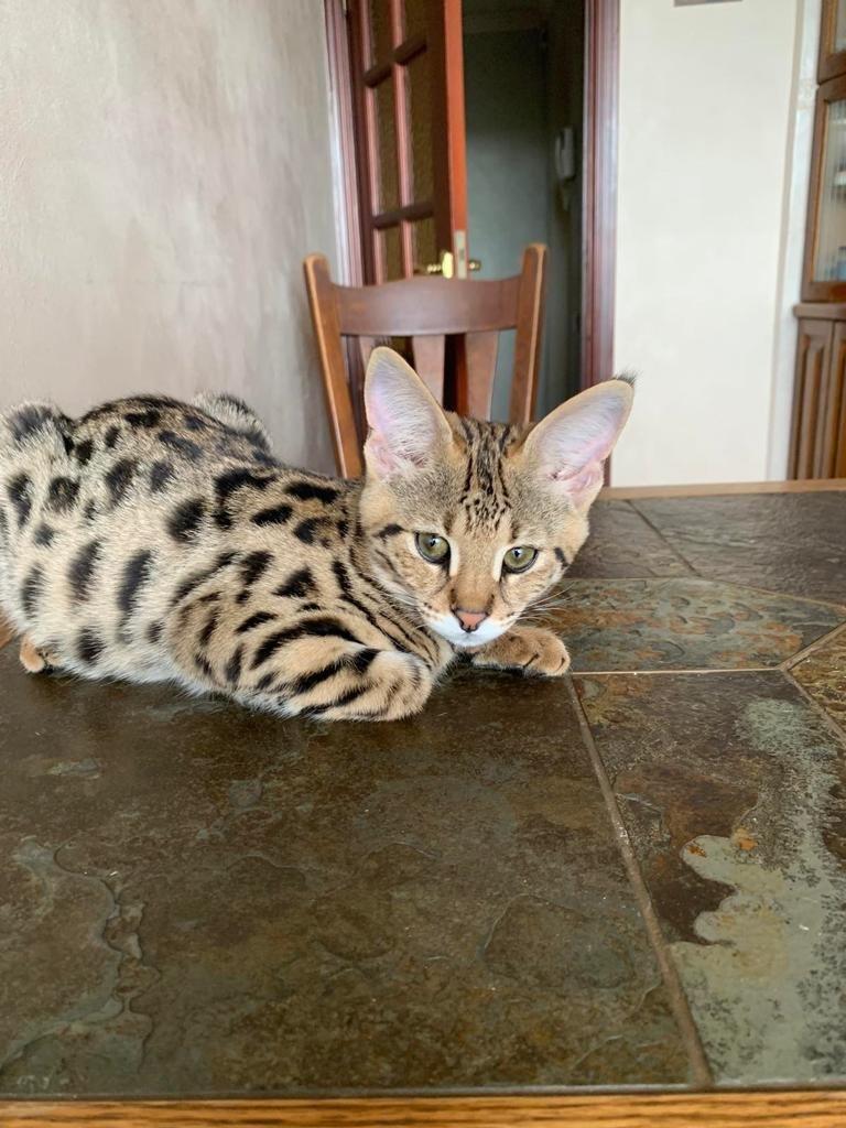 F1 Savannah Kittens For Sale In 2020 Savannah Kitten Cat Breeder Savannah Cat