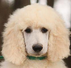 Standard Poodles For Sale Puppies For Sale Poodle Standard