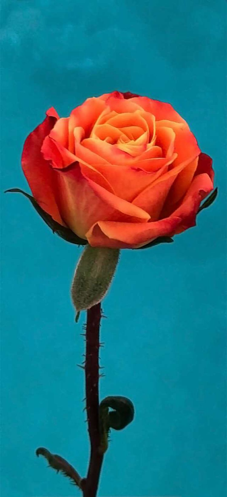 Ios 11 Orange Rose Flower Turquoise Abstract Apple Wallpaper Iphone X Iphone 8 Clean Beauty Col Samsung Wallpaper Ios 11 Wallpaper Iphone Wallpaper