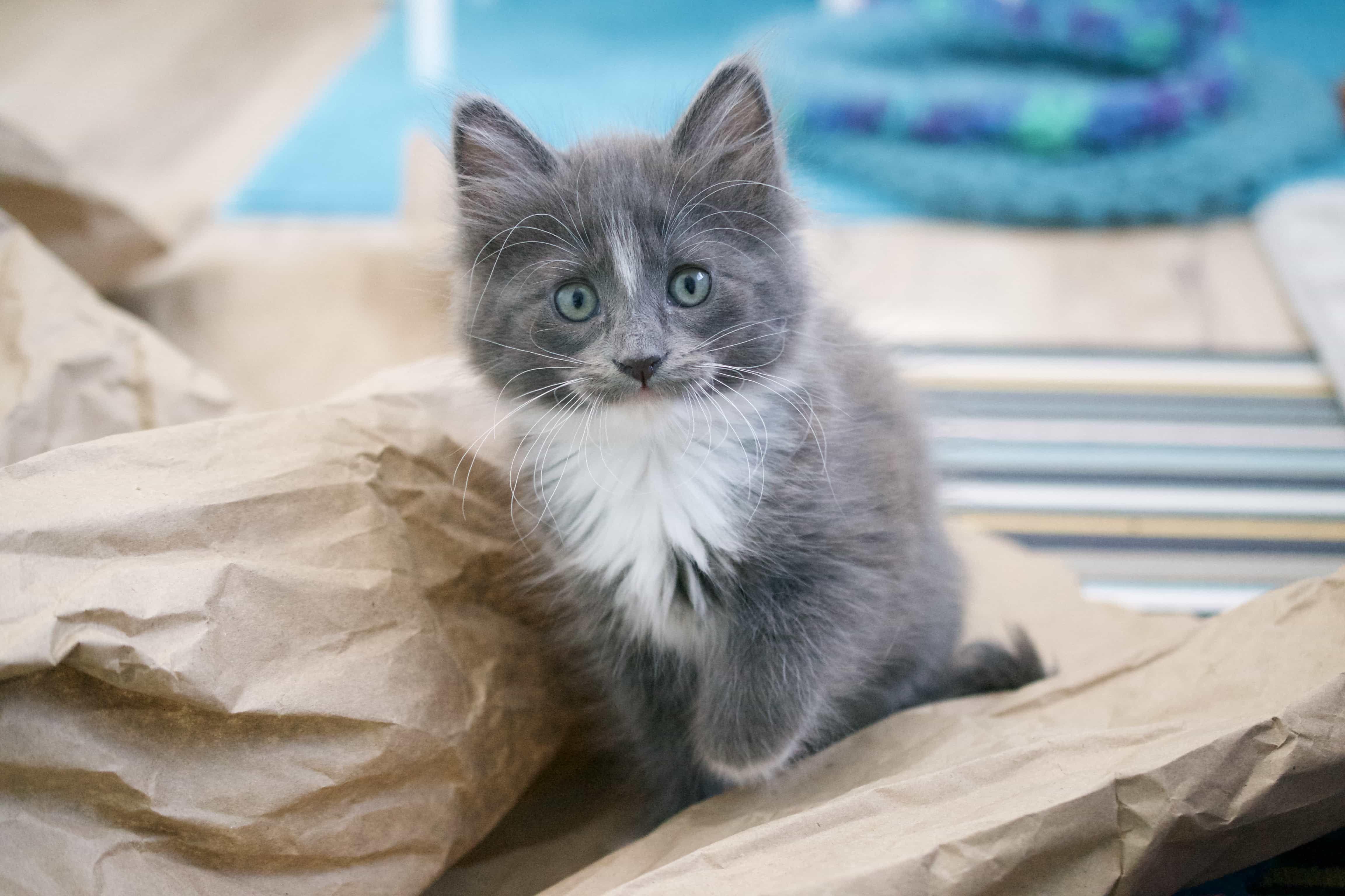 Kitten Foster Program Cat Adoption Team Cat Adoption Foster