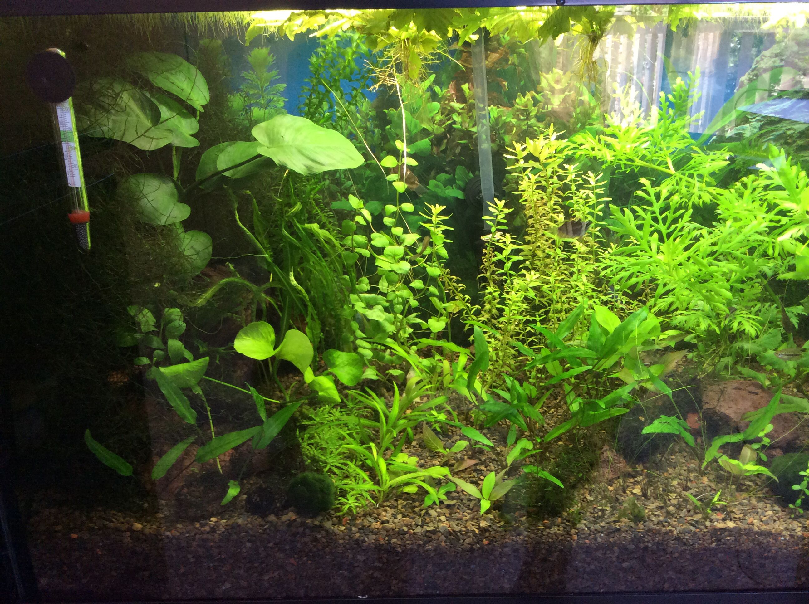 My 20 Gallon Tall Low Tech Planted Aquarium Walstad Style Safe T