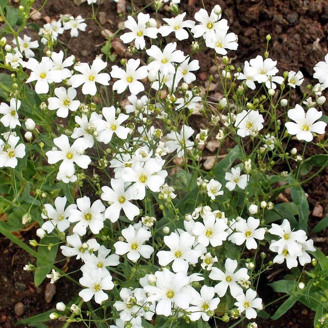 Annual Baby S Breath Seeds Babys Breath Flowers Gypsophila Elegans Flower Seeds
