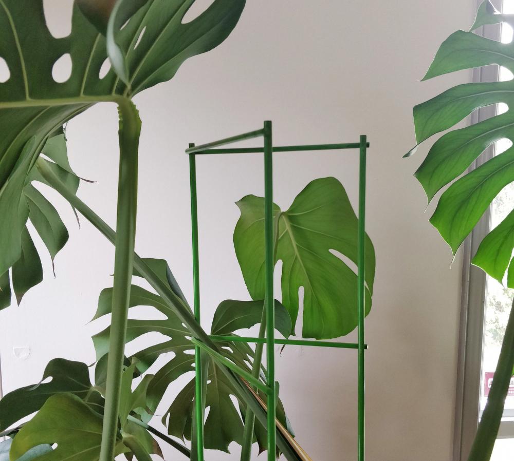 Trellis Installation For Monstera Deliciosa House Plant Journal Bathroomplants Trellis Plants Plant Journal Monstera Deliciosa