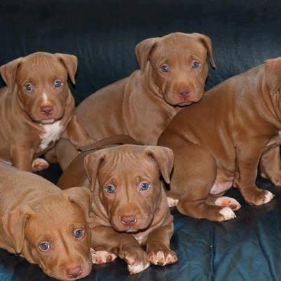 so adorable   Dog Gone It...   Dogs, Pitbulls, Baby pitbulls