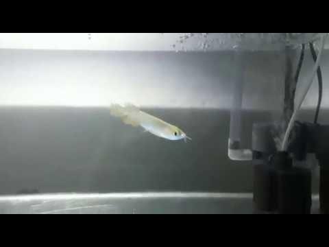 30 Gambar Keren Ikan Arwana Di 2020 Ikan Gambar Aquarium Air