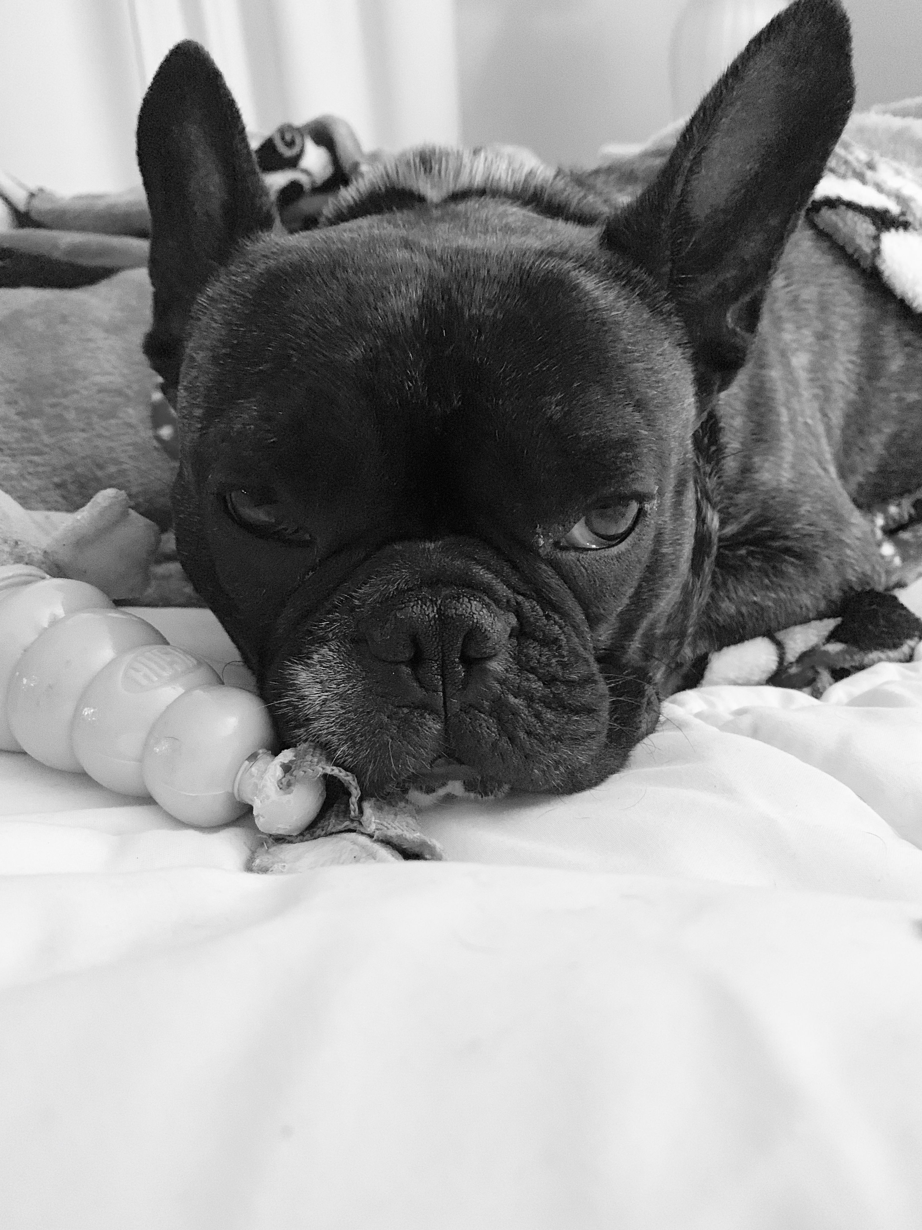 All I want to do is relax! French bulldog, Animals, Bulldog