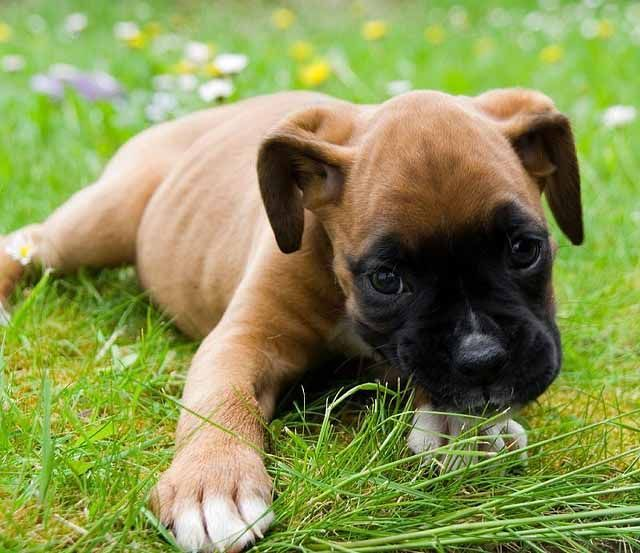 Brown And Black Boxer Puppies On The Grass With Images Boxer