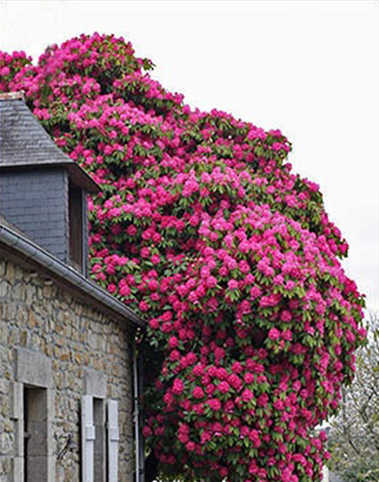 stone cottage + fuchsia / pink rhododendron #flowers #tree
