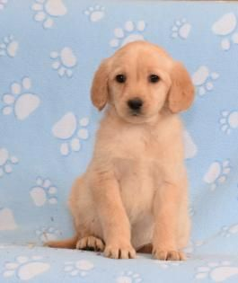 Price Under 300 Lancaster Puppies Page 2 Labradoodle Puppy Labradoodle Puppies For Sale Puppies For Sale