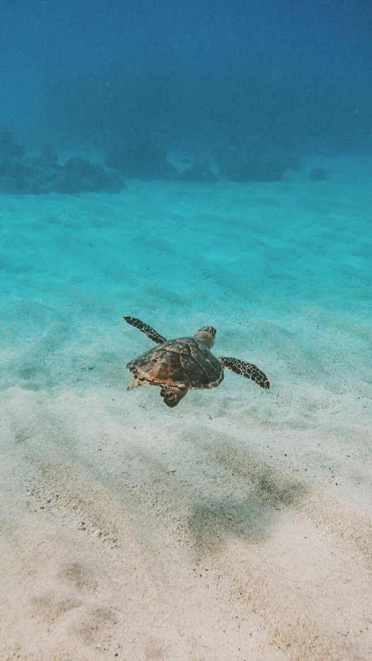 Sea Turtle iPhone Wallpaper