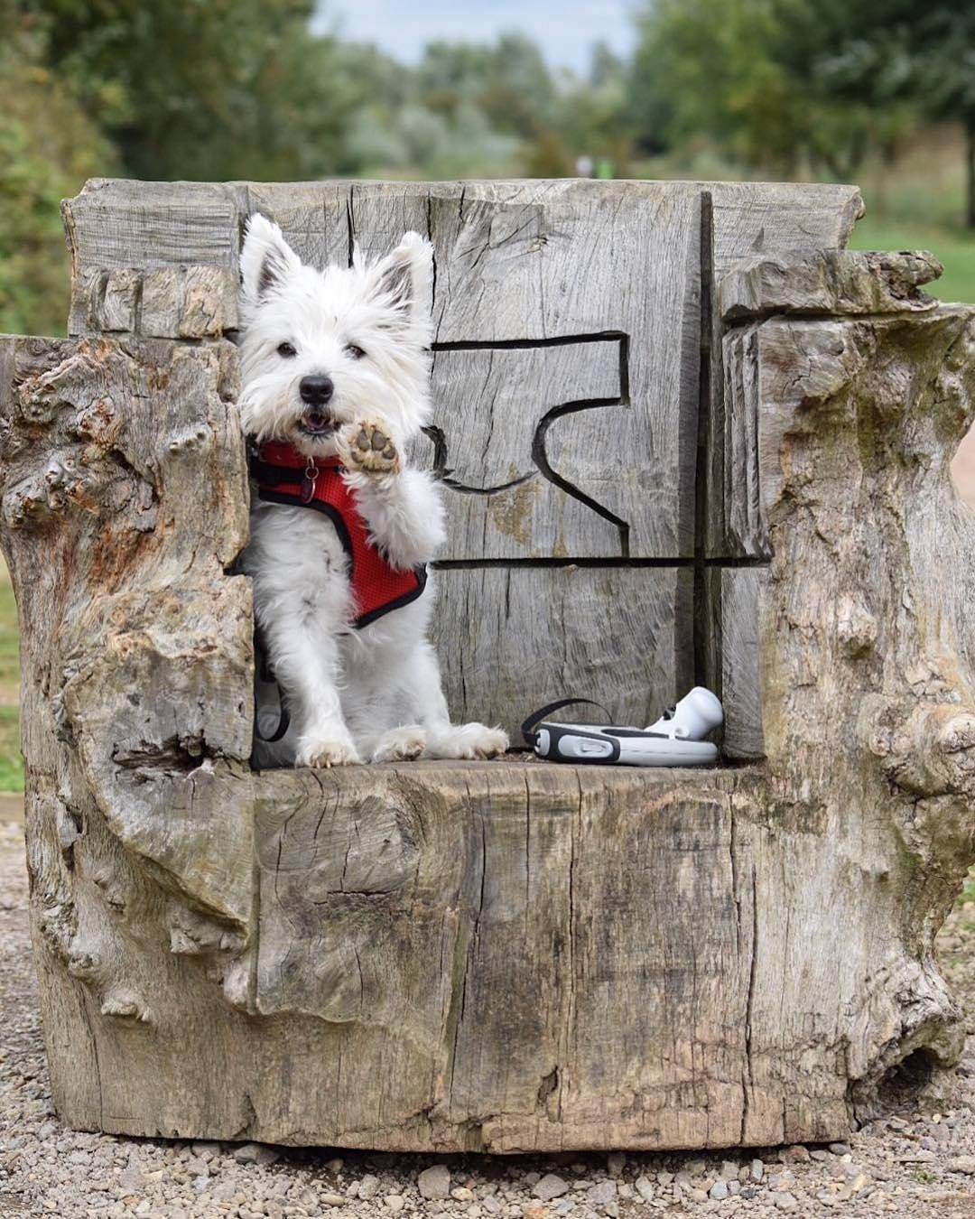 Not Found Westie Puppies Westies