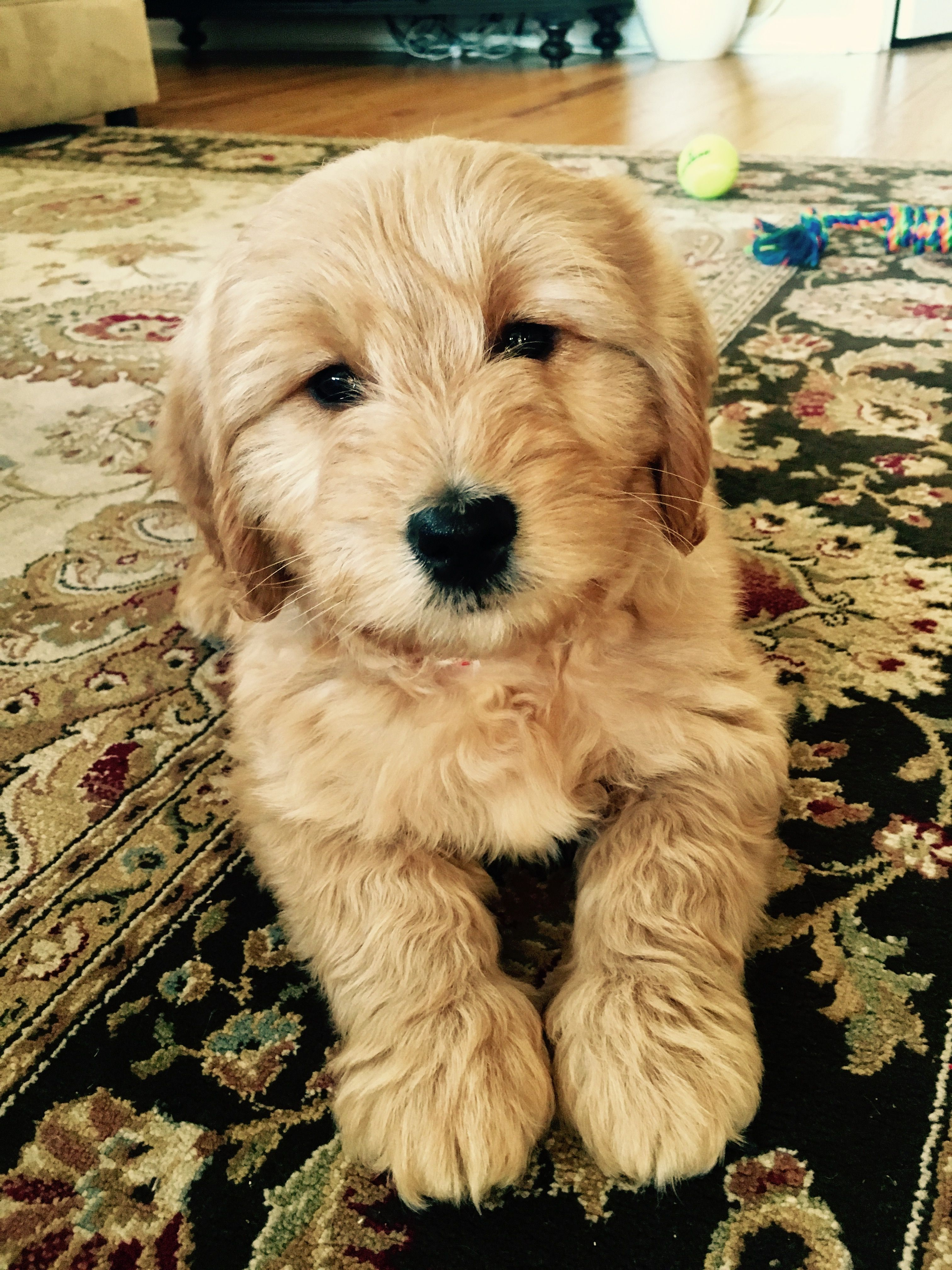 Jake Our 8 Week Old Golden Mini Doodle Goldendoodle Puppies