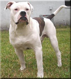 Alapaha Blue Blood Bulldogs Breed Information And Pictures Blue