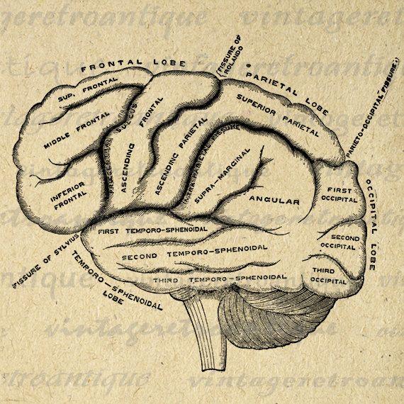 Digital Printable Brain    Diagram    Graphic Medical Image Anatomy Download TShirts Jpg Png Eps