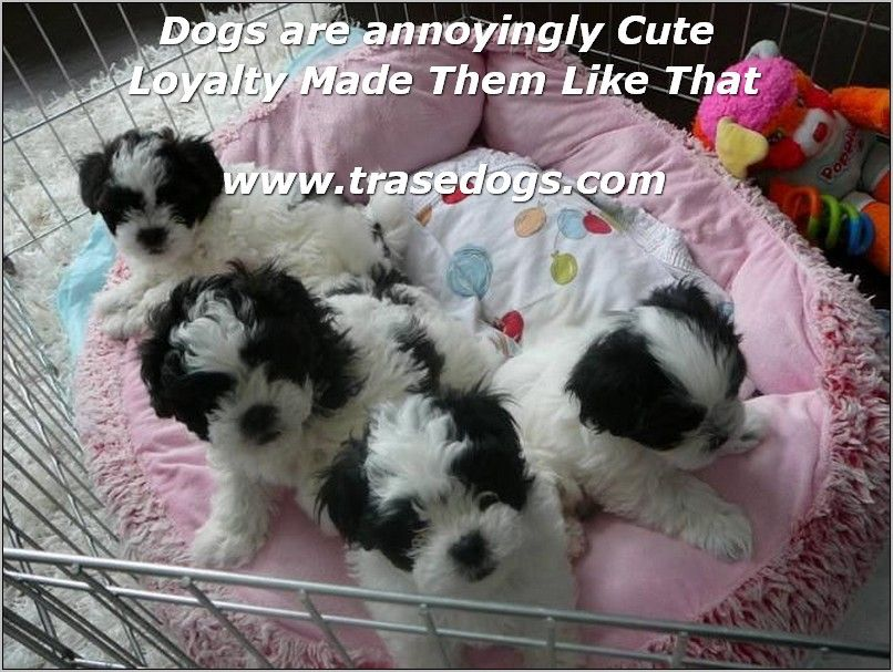 Basic Dog Training Animal Love Shih Tzu Puppy Shih Tzu