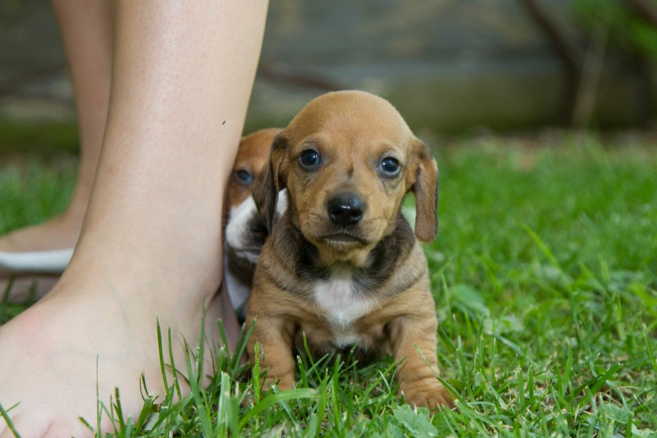 The Horsemeister Blog Dachshund Puppies For Sale Purebred Dogs Two Longhair Dachshunds Stock Im Dachshund Puppies Puppies For Sale Dachshund Puppies For Sale