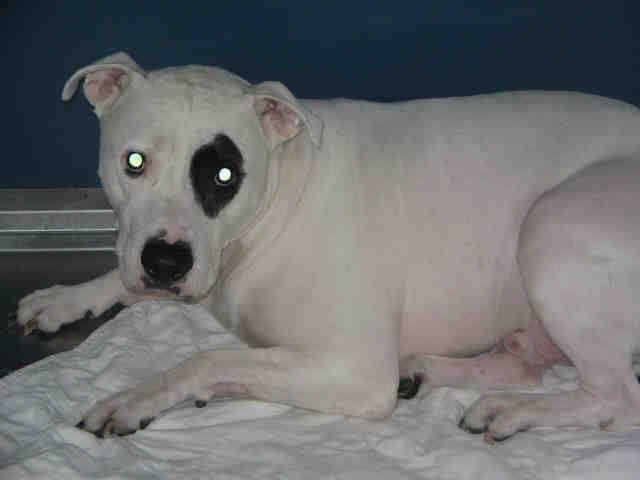 Manhattan Center ROMEO - A1027081 NEUTERED MALE, WHITE / BLACK, AMERICAN STAFF MIX, 4 yrs OWNER SUR - ONHOLDHERE, HOLD FOR ID Reason COST Intake condition EXAM REQ Intake Date 02/03/2015 https://www.facebook.com/Urgentdeathrowdogs/photos/pb.152876678058553.-2207520000.1423181395./956393857706827/?type=3&theater