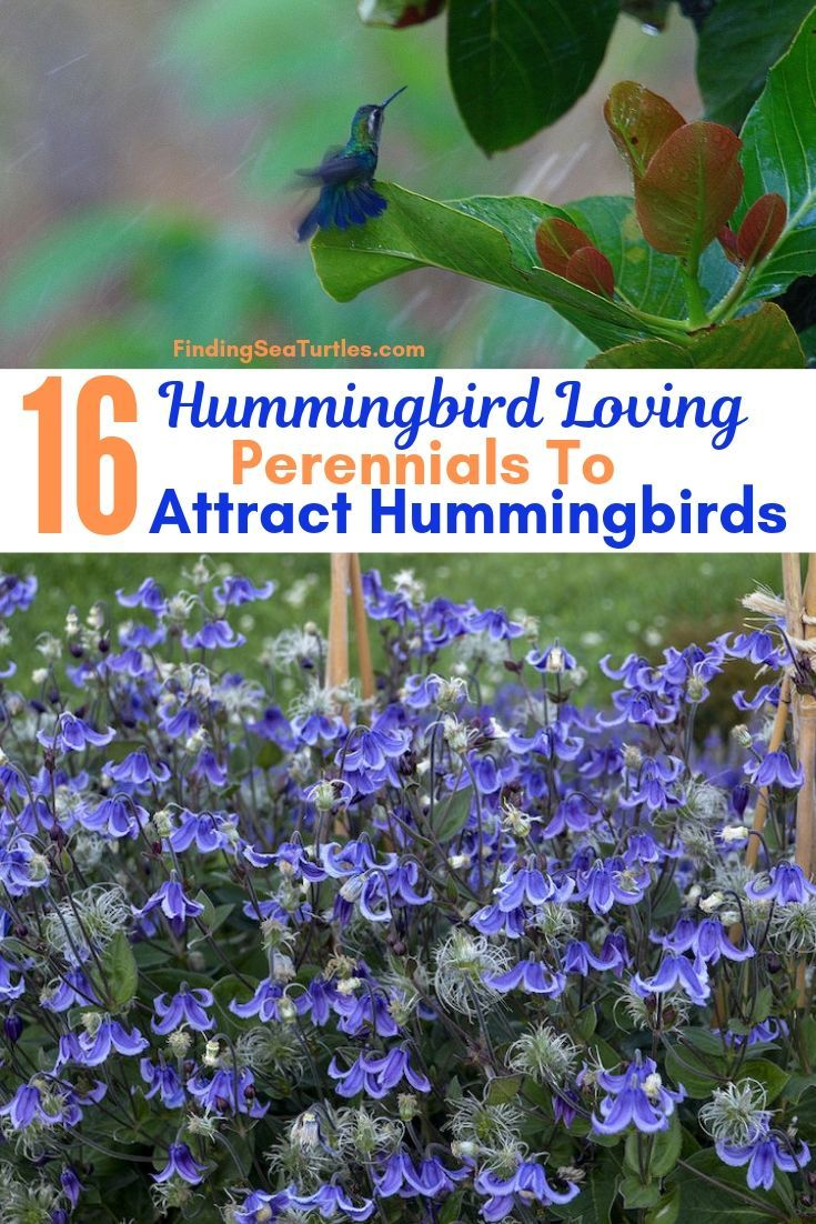 16 Perennials That Attract Hummingbirds to Your Garden! is part of How to attract hummingbirds, Hummingbird plants perennials, Hummingbird plants, Hummingbird garden, Perennials, Flower garden - Perennials for hummingbirds  Love having hummingbirds visit your garden  Expand your garden space to attract hummingbirds  And if you don't have hummingbirds then, create a place for them  We all love seeing those magnificent little hummingbirds flutter by  They are quick  And easy to missRead More