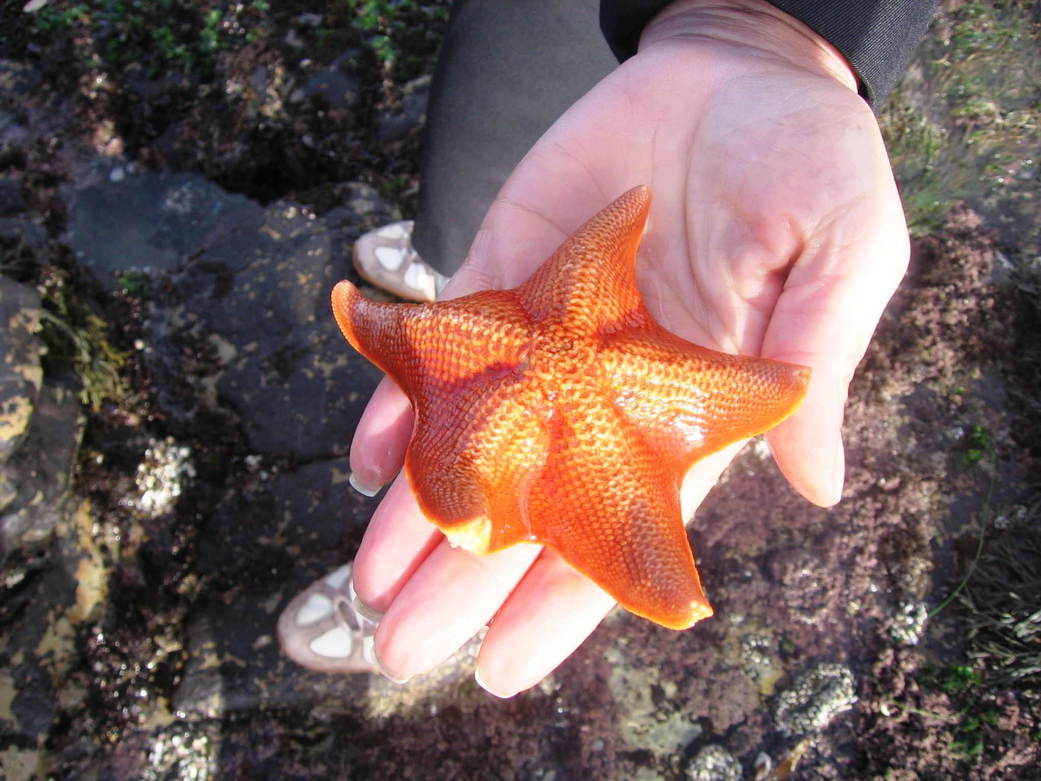 Guadalupe, CA - Oso Flaco Lake and Dunes (State Park) - Starfish