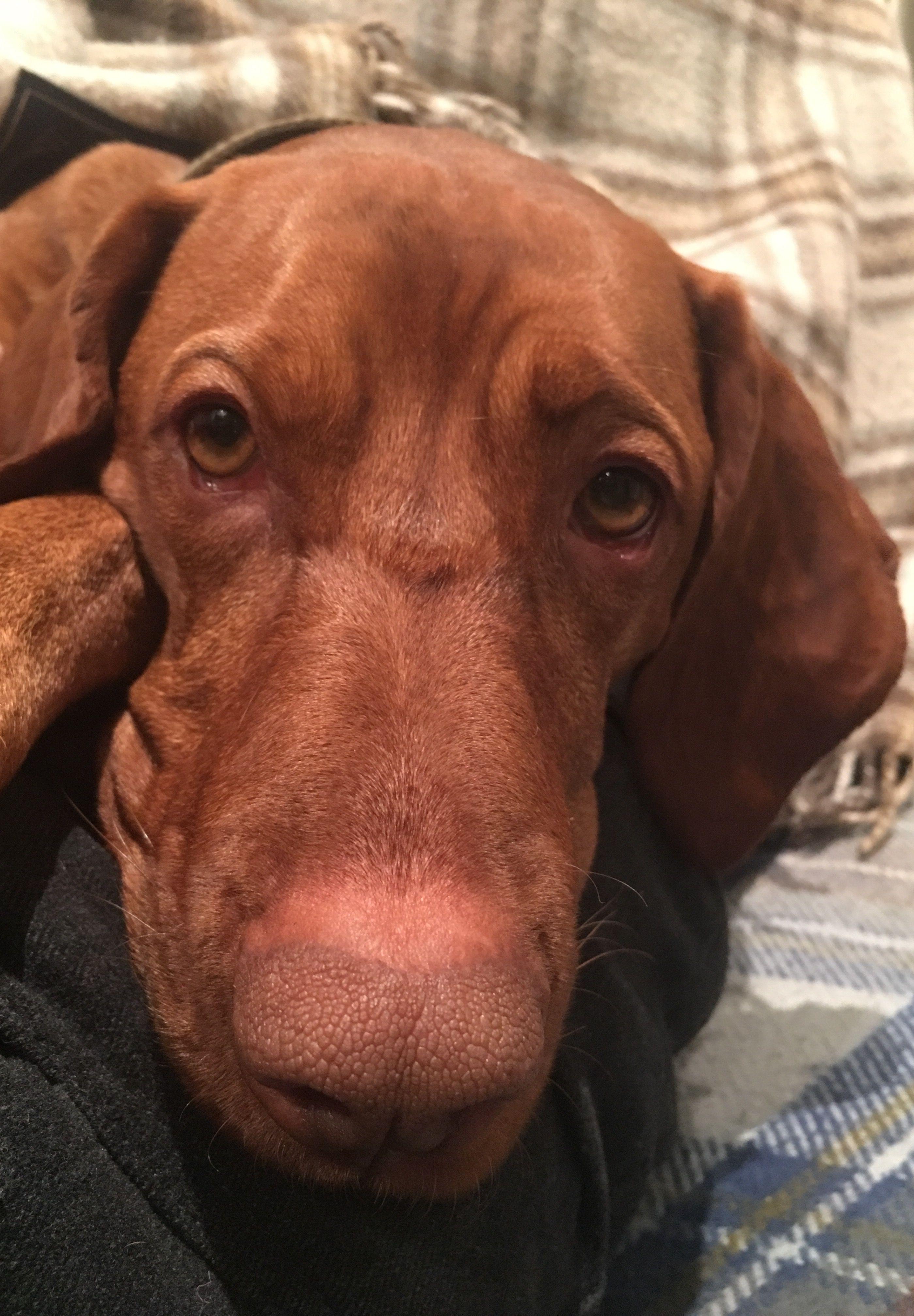 Pin By Susan Ronchetto On Vizsla And Friends Vizsla Vizsla Dogs