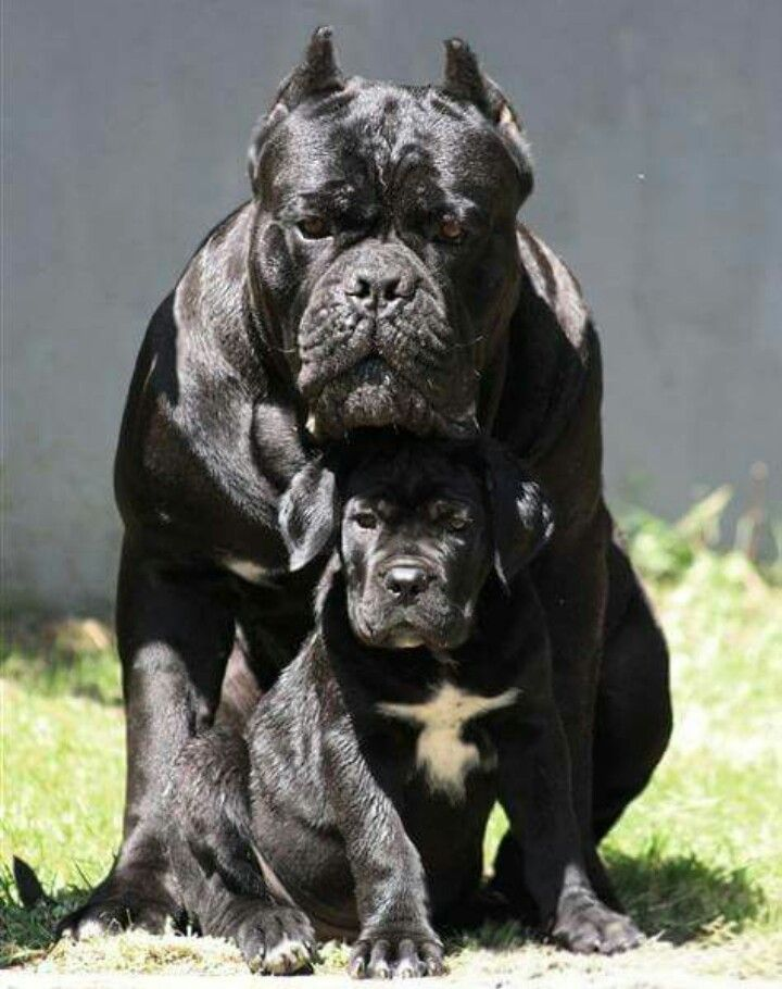 image result for cane corso cane corso cane corso dogs puppies