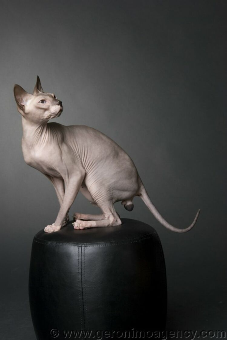 Donskoy Aka Don Sphynx Rare Russian Hairless Cat Unrelated To The Better Known Sphynx Breed The Don Hairlessness Is Caused Hairless Cat Sphynx Cat Dwelf Cat