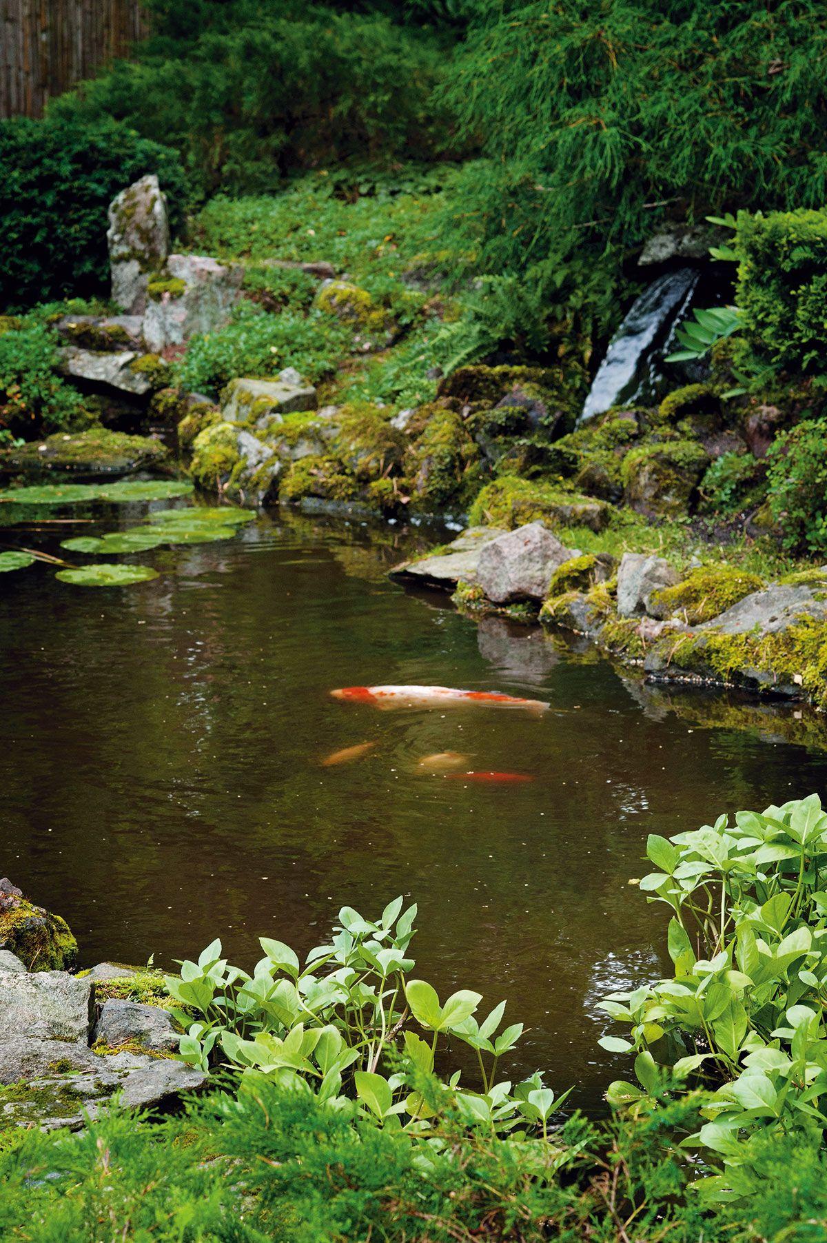 Altaassa uiskentelee karppeja ja kultakaloja. Luonnon-kivin ...