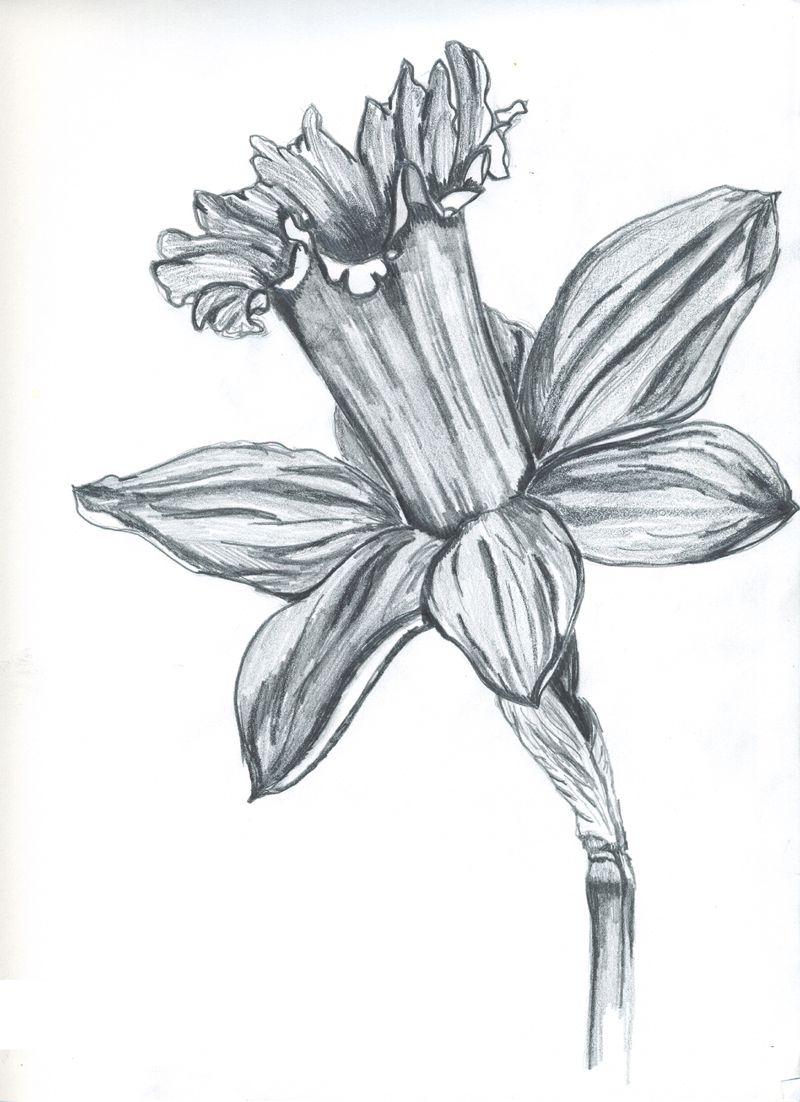 Daffodil pencil drawing art u tattoos pinterest drawings
