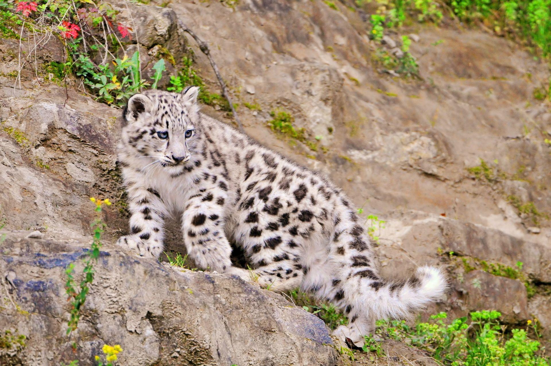Animal Snow Leopard Wallpaper