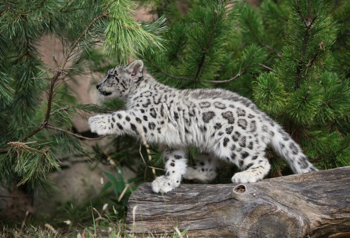 Baby Snow Leopard Cub Cubs Wallpaper Panthera Pardus
