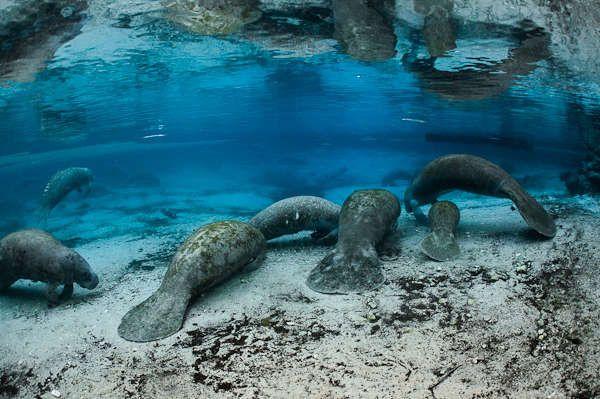 Florida Manatees May Come Off Endangered Species List Aquaviews Manatee Florida National Wildlife Refuge Crystal River Florida