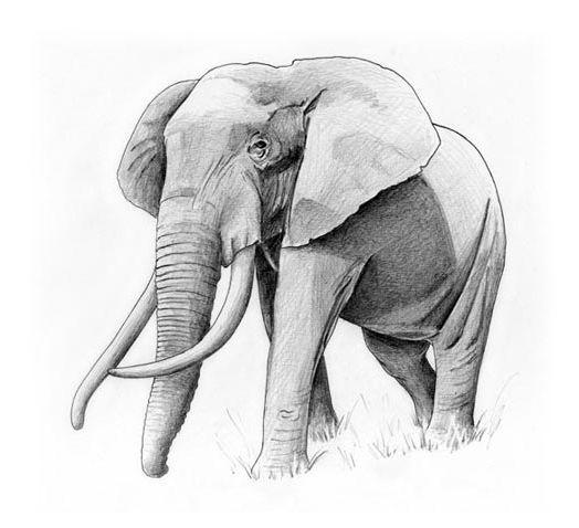 Elefante Marta Freixas Ilustracion 44778 Dibujos De Elefantes Dibujo De Elefante Elefantes