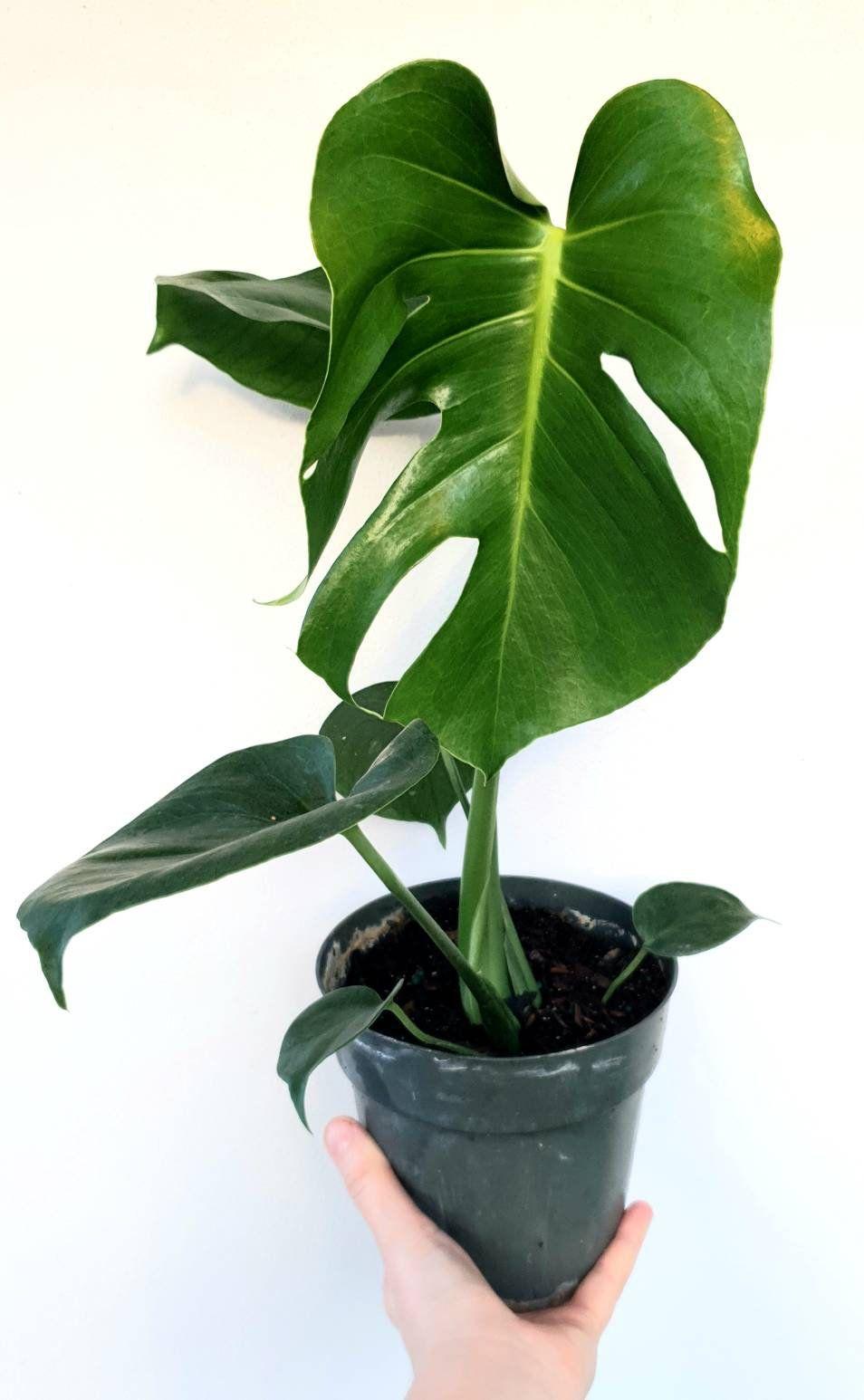 Monstera Deliciosa 18 20 Tall Please Read The Full Listing Philodendron Monstera Plants Monstera Deliciosa